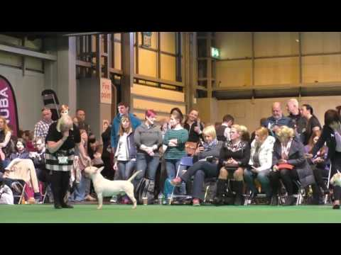 Crufts Dog show 2017 Miniature Bull Terrier Seaquest El Sid