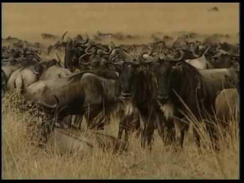 ANIMALIA #14 Andean condors   Biggest bull   Kenyan wildebeest