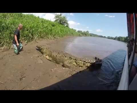 Hand Feeding the Largest Crocodile in Central America, Crocodile Tours Costa Rica