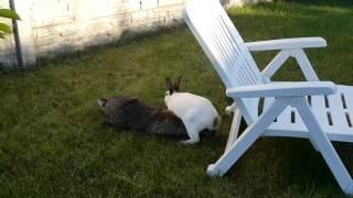 смешно! спаривание кроликов. Животные Крис