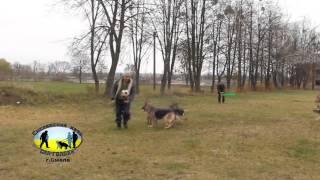 """Собаки играют у футбол Смелянский клуб собаководства """"Сан-Голден"""""""