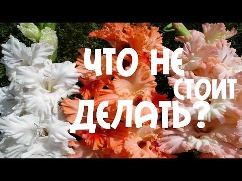 Аристократ цветущих клумб - гладиолус