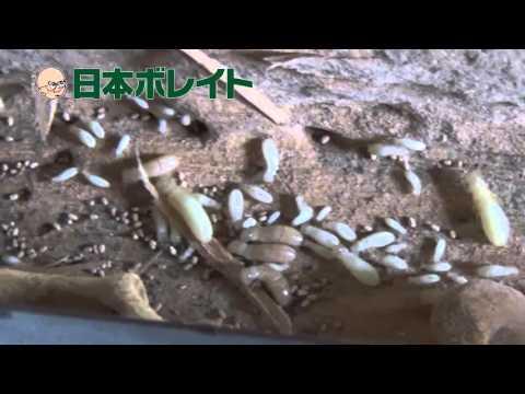 解体現場にてアメリカカンザイシロアリ