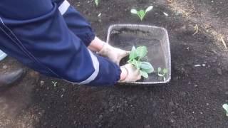Когда и как правильно сажать капусту на рассаду (видео инструкция)?