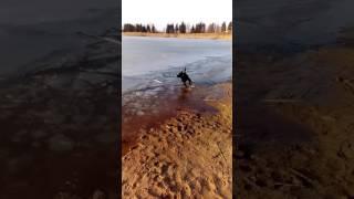 Наша собачка)))))Собака долбит лед