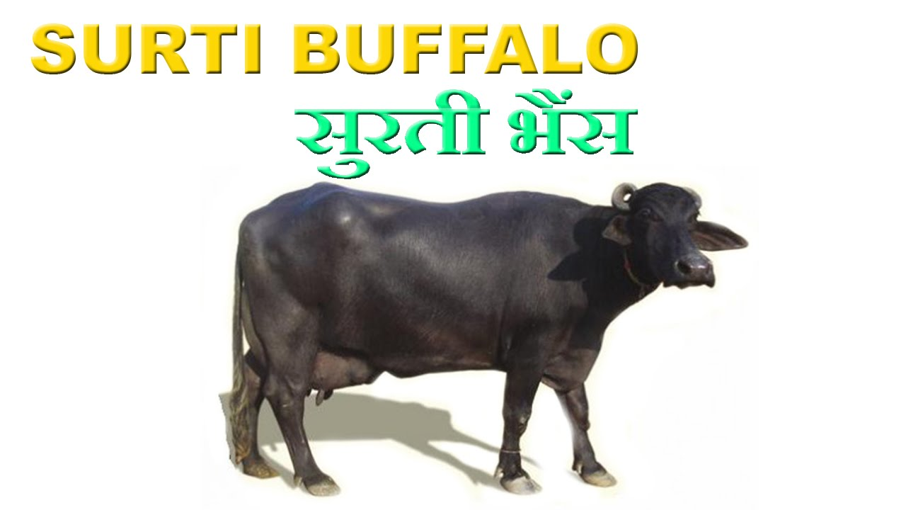 Dairy Farming Surti Buffalo - Best B...