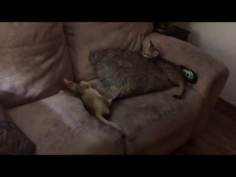 24/7 entertainment owning 2 wildcat hybrids (savannah - chausie)