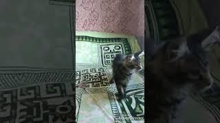 МЕЙН КУНЫ котята в поисках своих семей . БАЗЕЛИУС