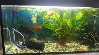 Золотые рыбки вместе с другими обитателями