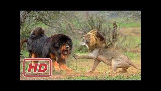 本当の戦い!▻▻ ライオン・犬ハイエナクロコダイル野生のイノシシ. 本当...
