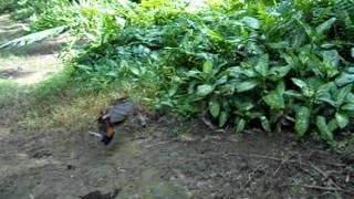 Mangsa Racik Ayam Hutan