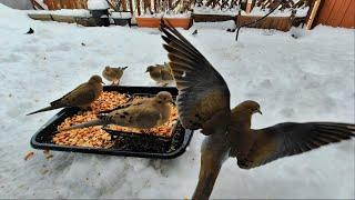 超萌動物小集合 - 系列 12 | Snow Day| Wildlife Bird - Black & White Sparrow 鳥 &  鴿子 Dove| Funny Animals Life