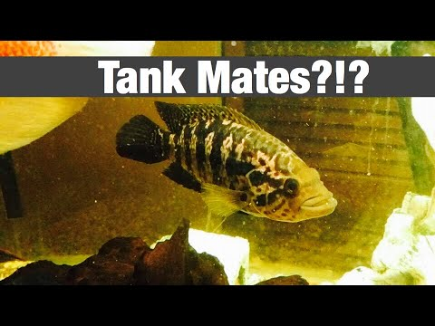 Jaguar Cichlid Tank Mates - Fighting & Growth