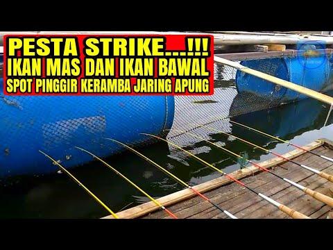 PESTA STRIKE Ikan Mas Dan Ikan Bawal Spot Pinggir Kolam Jaring Apung