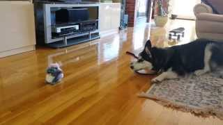 Funny Siberian Husky Puppy Scared by a Talking Toy