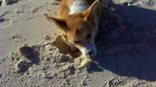 Joey The Welsh Corgi Goes To Florida.