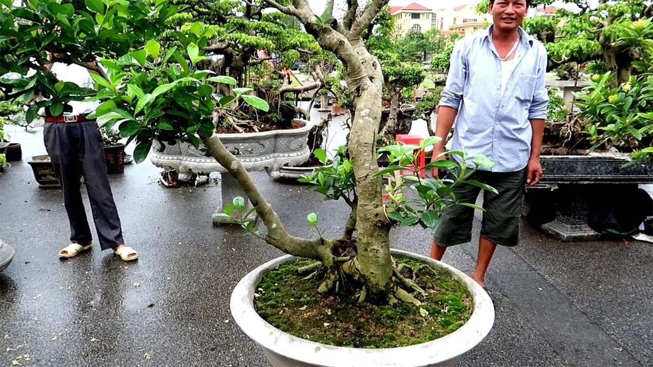 Một cây dành dành đẹp