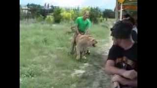 Львы на свободе Парк ЛЬВОВ Тайган в Крыму(, 2014-02-03T23:51:12.000Z)