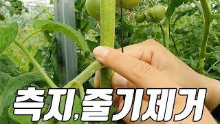 토마토 시설하우스 측지제거, 줄기제거, 적화작업 …