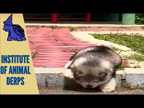 Exclusive Institute of Animal Derps – 'Very Hilarious' – Vids – 4
