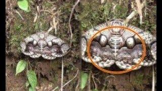 Gặp phải loài bướm đen lạ này thì tránh thật xa, đằng sau nó ẩn chứa tai họa ngập đầu