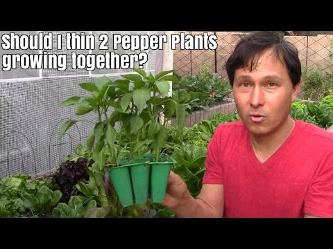 Should I thin 2 Pepper Plants Growing Together? & More Garde