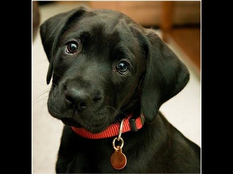 Dicas e cuidados com Labrador Retriever - Paixão por Animais
