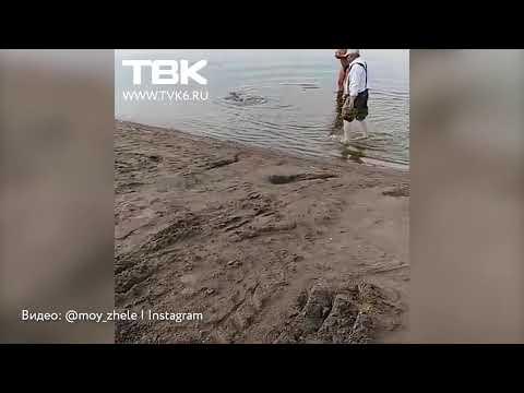 Жители Железногорска поймали в озере огромного карпа
