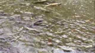 Salmon Run at Goldstream park, Vancouver Island British Col