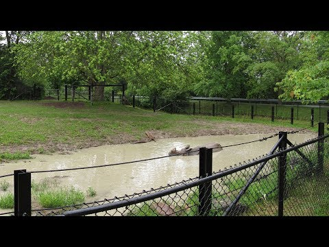 Toronto Zoo Indian Rhinoceros