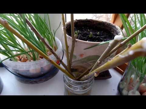 Черенкование ИВЫ ПЛАКУЧЕЙ.Ивовая вода природный укоренитель-стимулятор для растений.