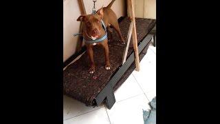 vuclip Esteira para cachorro passo a passo.  como fazer uma esteira para cachorro. PITBULL.