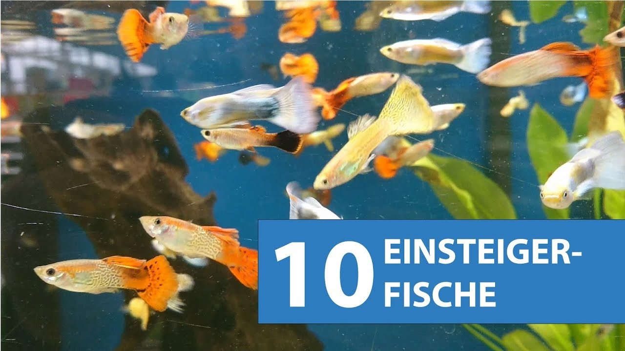 Aquariumsfische