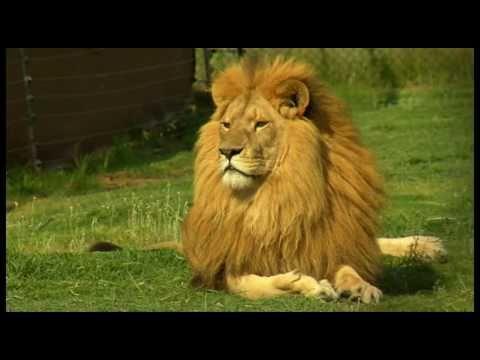 i am a lion youtube