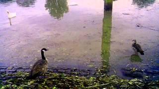 Гуси Лебеди река Майн Франкфурт-на-Майне район Höchst #2