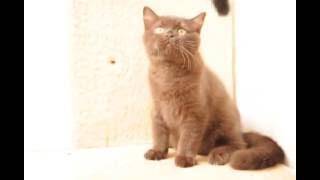 Британский шоколадный котенок кот Байкал в питомнике British House