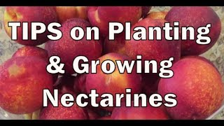 TIPS on planting and growing nectarines