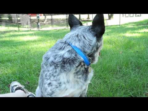 Meet Loverboy a Australian Cattle Dog currently available for adoption at Petango.com! 8/13/2015 2:2
