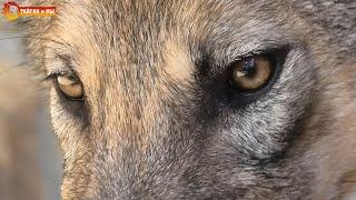 Какие они уже большие - волки - волки! Тайган. Wolves life in Taigan.
