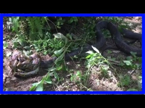 Rescuers capture 17-foot cobra after three hour fight with python