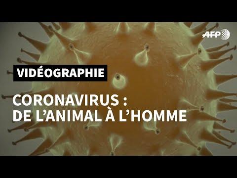 De l'animal à l'homme: émergence d'un nouveau coronavirus   AFP Animé