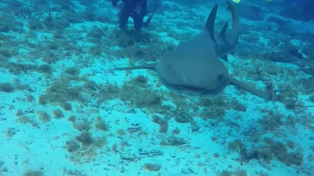 nurse shark eats go pro camera nurse shark eats go pro camera