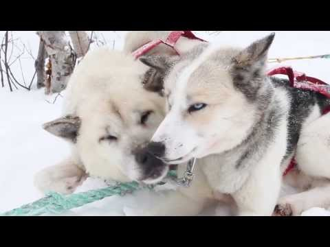 Husky & Aurora Borealis Norway [HD]