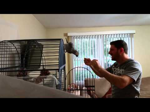 Trying to teach African Grey Parrot to step up