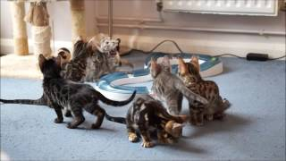 AsuraCats Bengal Kittens playing with Flying frenzy wand