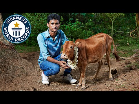 Shortest cow (height) - Guinness World Records