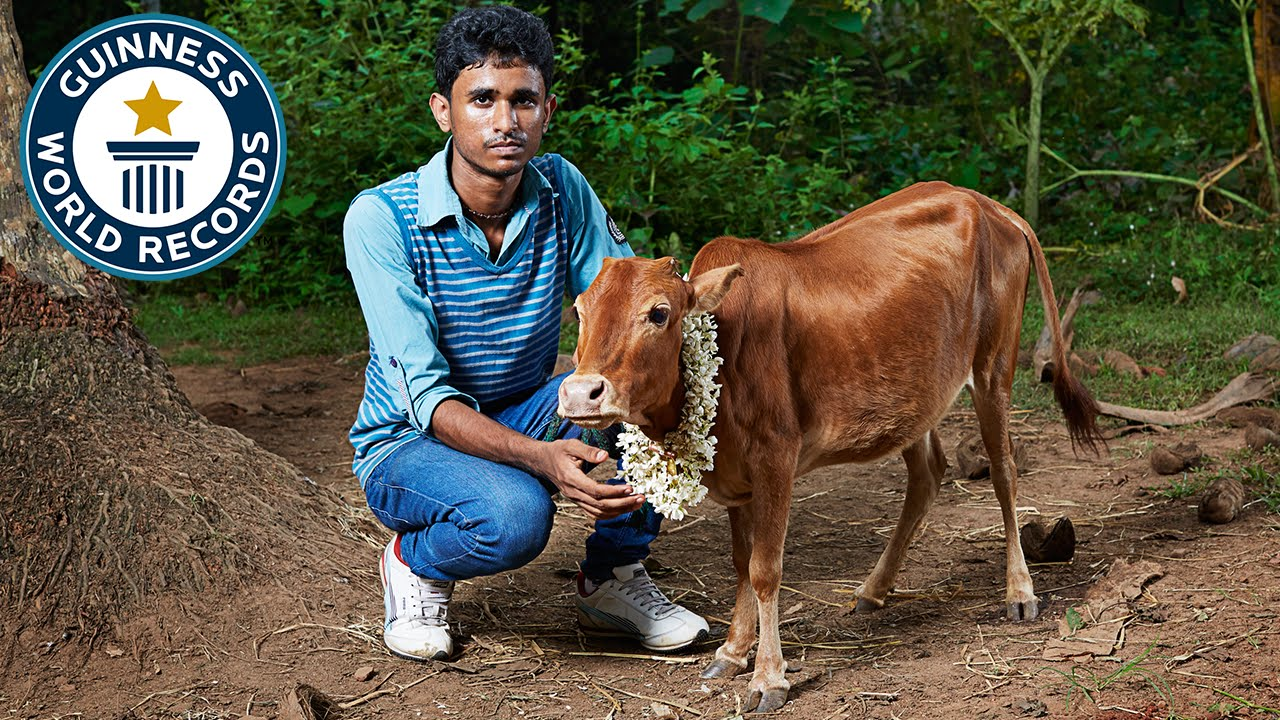 manikyam Shortest Cow In The World