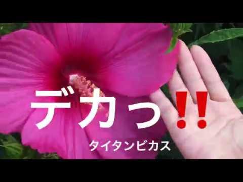 まるおの母 まるこの宿根草と低木の庭 2018 07 16 猛暑日を免れた庭に咲くアメリカフヨウ タイタンビカス ヘメロカリス娘盛り アメリカリョウブ