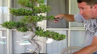 How to Prune Juniper Bonsai