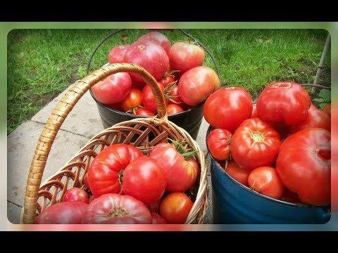 Крупные томаты для открытого грунта. Мои любимые сорта!! | толстяка | открытом | томатов | пудовик | медовый | крупные | томаты | сердце | грунте | томат